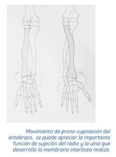 Movimiento de prono-supinación del antebrazo,