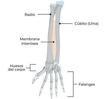 detalle de los huesos del brazo y mano